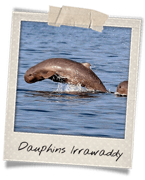 dauphins-irrawaddy