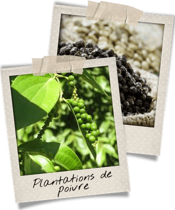 plantations-de-poivre-noir-phu-quoc