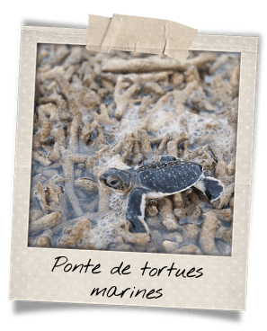 pontes-tortues-con-dao-bebes-tortues