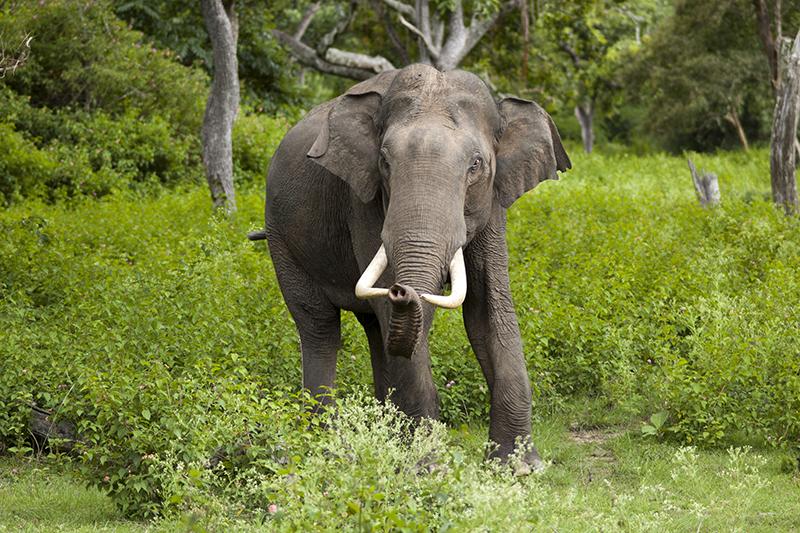 Elephant-asie-Inde